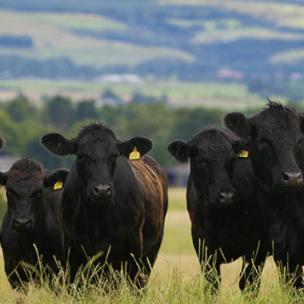 cube-cattle.jpg