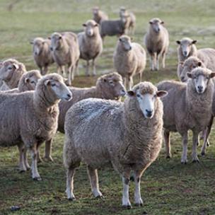 cube-sheep.jpg